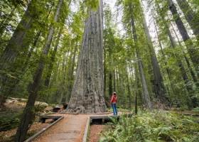 Árvores Gigantes na Califórnia